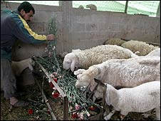 Palsetinian farmer feeds unexported flowers to sheep (March 2009)