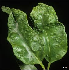 Citrus Psyllid damage to Orange leaf