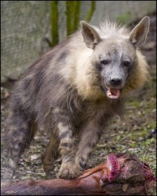 Hyena at Port Lympne Wild Animal Park - pic Dave Rolfe