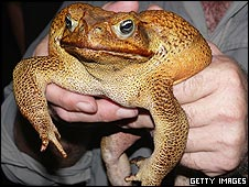 Super cane toad