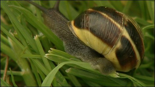 A banded snail