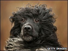 Kix, a Portuguese Water Dog, at the Crufts dog show in Telford, England in March