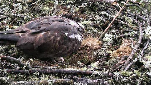 Female osprey in nest with egg
