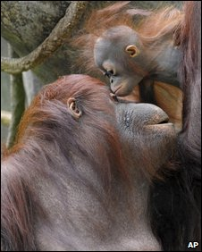 A mother orangutan and her baby - file photo from US zoo
