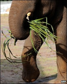 Elephant with grass (AFP)
