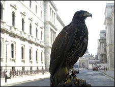 Hawk used to chase away pigeons from Whitehall