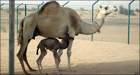 Injaz, whose creators say she is the world's first cloned camel