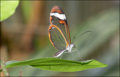 A glasswing butterfly takes a brief rest on a leaf at the Felinwynt Rainforest Centre near Aberporth (Andy Travers).