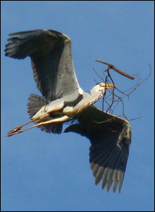 Heron flies over Cadoxton, Neath (Mike Davies)