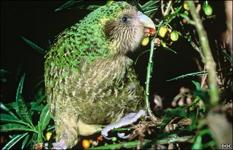 Adult kakapo eating rimu fruit