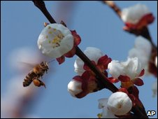 Apricot blossom and bee