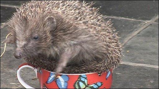Millie the hedgehog