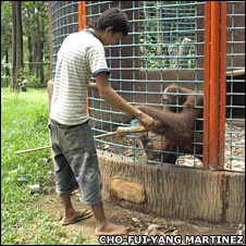 Orangutan in cage with keeper
