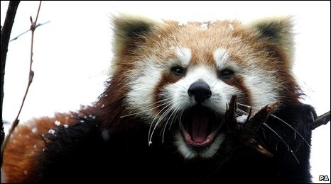 Red panda