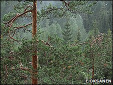 Conifers (Image: Erkki Oksanen)