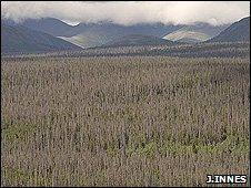 Dead spruce forest (Image: John Innes)