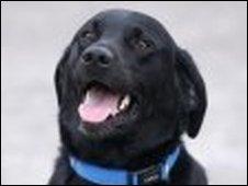 Toby the Labrador