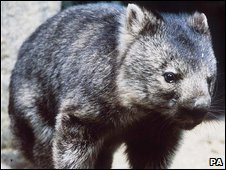 wombat (file photo)