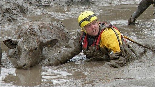 Stuck cow - image courtesy Burnham-On-Sea Area Rescue Boat