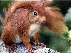 A red squirrel