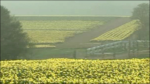 The daffodil plantation in Powys