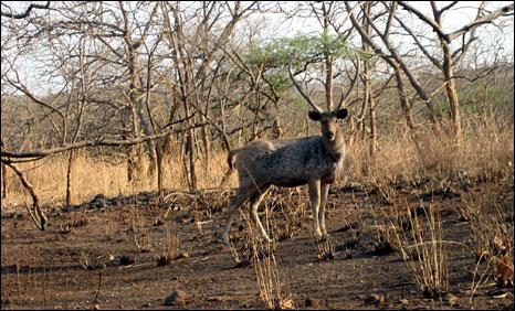 Antelope in Gir