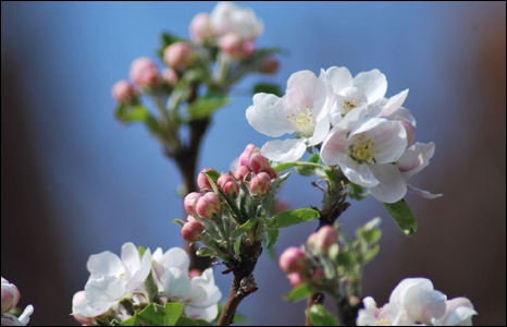 Apple blossom on a tree in Nick Morgan's garden in Caerleon.