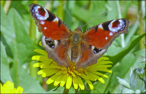 Mike Davies took this lovely picture of a peacock butterfly settling on a flower in Jersey Marine, Neath.