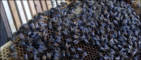 Bees on brood frame, BBC