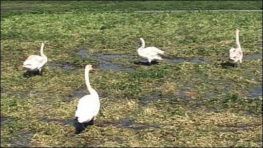 Swans eating watercress