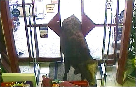 Bull on its way into supermarket