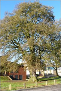 Lucombe tree in Crewkerne