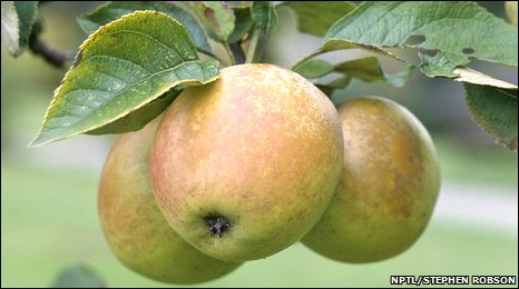 Pitmaston fine apples
