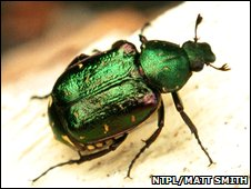 Nobel chafer beetle