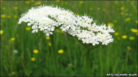 Corky-fruited water dropwort