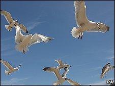 Seagulls in Kent