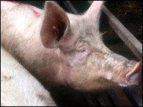 انفلونزا الخنازير