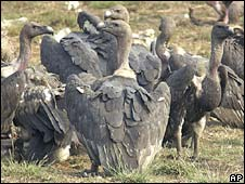 Vultures. File photo