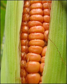 Corn, National Academy of Sciences/PNAS
