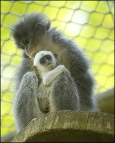Grizzled Leaf Monkeys