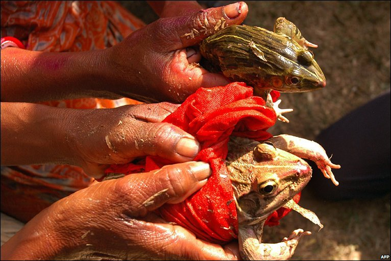 Villagers solemnize a frog marriage as they pray for rain at Maghlipara village, some 35km from Agartala on April 28, 2009