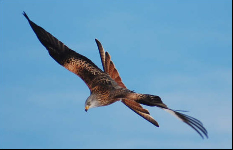 Paul Harris Dack sent us this brilliant shot of a red kite soaring in the skies above the Rhyader feeding station.