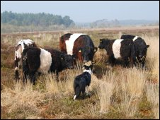Cattle grazing on Ockley Common