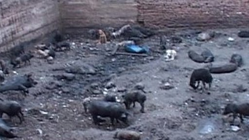 A pig pen in Cairo