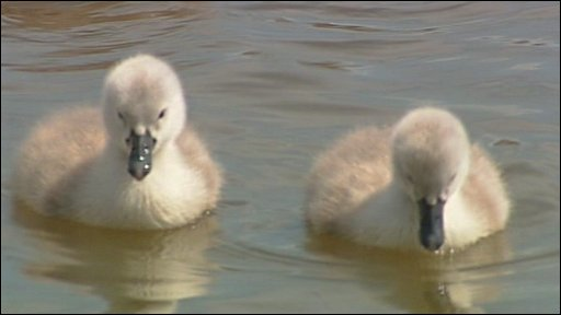 New cygnets at Abbotsbury