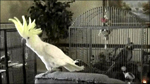 Snowball the dancing cockatoo