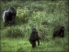 Silverback and two younger gorillas