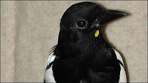 Magpie with yellow sticker (Plos)