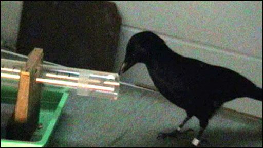 Betty the New Caledonian crow