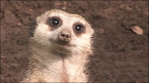 A Meerkat